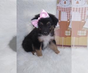 Australian Shepherd Dog for Adoption in INDIANAPOLIS, Indiana USA