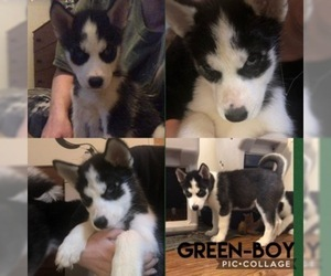 Siberian Husky Puppy for sale in COLUMBUS, OH, USA