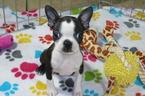 Boston Terrier Puppy For Sale in TUCSON, AZ, USA