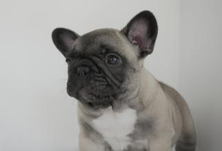 French Bulldog Puppy For Sale in BRISTOW, VA, USA