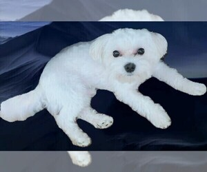 Father of the Maltese puppies born on 04/08/2021
