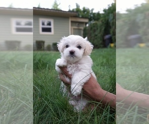 Maltese Puppy for sale in PORTLAND, OR, USA