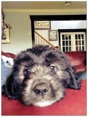 Newfoundland-Old English Sheepdog Mix Puppy For Sale in MIDDLETOWN, NY, USA