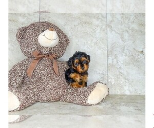 Poodle (Toy)-Yorkshire Terrier Mix Puppy for sale in CLEVELAND, NC, USA
