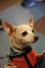 Jerry - Chihuahua / Mixed (short coat) Dog For Adoption