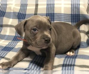 American Bully Dog for Adoption in GOWEN, Michigan USA