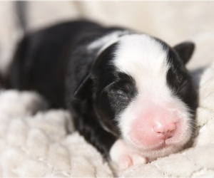 Miniature Australian Shepherd Puppy for sale in CHICKASHA, OK, USA