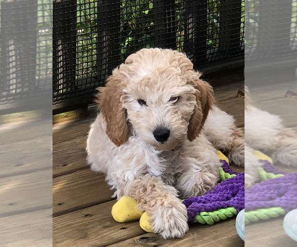 Medium Photo #1 Goldendoodle Puppy For Sale in PINEHURST, NC, USA