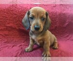 Small Photo #2 Dachshund Puppy For Sale in GRANBY, CT, USA