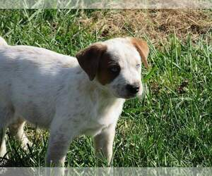 Texas Heeler Puppy for Sale in PAOLA, Kansas USA