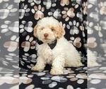 Small Photo #2 Shih-Poo Puppy For Sale in LINCOLN UNIV, PA, USA