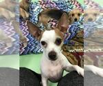 Small #35 Chihuahua Mix