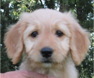 Goldendoodle Puppy for Sale in WAYNESVILLE, Missouri USA