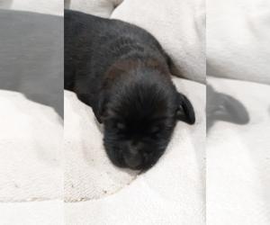 Newfoundland-Saint Bernard Mix Puppy for sale in MARENGO, WI, USA