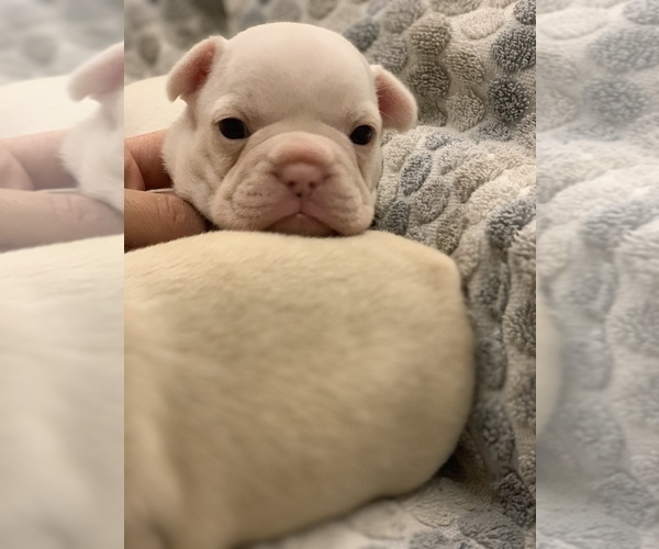 Medium Photo #6 French Bulldog Puppy For Sale in LEAWOOD, KS, USA