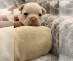 Small Photo #6 French Bulldog Puppy For Sale in LEAWOOD, KS, USA