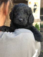 Goldendoodle Puppy For Sale in VAN ALSTYNE, TX, USA