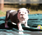 Puppy 5 Bulldog