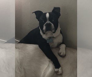 Father of the Boston Terrier puppies born on 09/07/2020