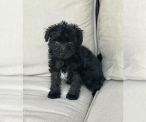 Pom-A-Poo-Pomeranian Mix Dogs for adoption in RICHMOND, MI, USA