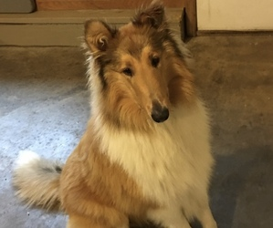 Collie Puppy for sale in CHISAGO CITY, MN, USA