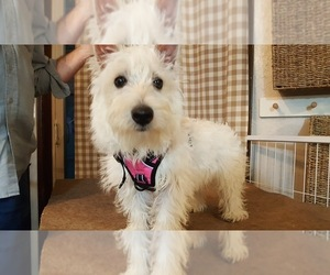 West Highland White Terrier Puppy for sale in CHOCTAW, OK, USA
