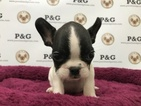 French Bulldog Puppy For Sale in TEMPLE CITY, CA, USA