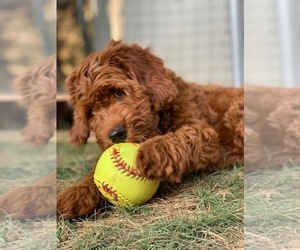 Australian Labradoodle Puppy for Sale in MILL VALLEY, California USA