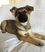 German Shepherd Dog Puppy For Sale in LOS MOLINOS, CA, USA