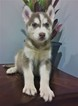 Siberian Husky Puppy For Sale in INMAN, South Carolina,