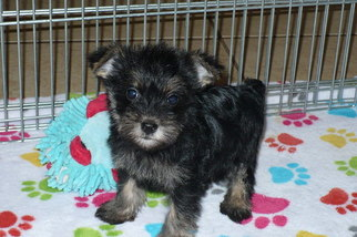 View Ad Snorkie Puppy For Sale Near Arizona Tucson Usa Adn 91408