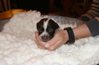 German Shorthaired Pointer Puppy For Sale in LOS ALAMOS, CA