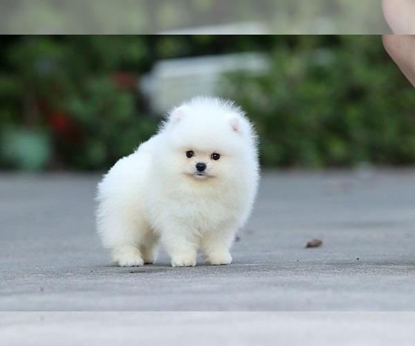 Medium Photo #5 Pomeranian Puppy For Sale in CINCINNATI, OH, USA
