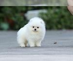 Small Photo #5 Pomeranian Puppy For Sale in CINCINNATI, OH, USA
