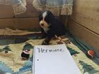 Bernese Mountain Dog Puppy For Sale in HARRISON, ME, USA