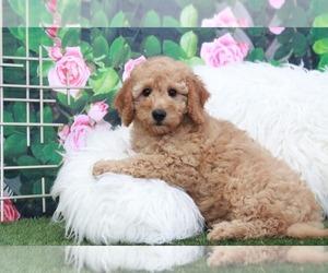 Goldendoodle Puppy for sale in MARIETTA, GA, USA