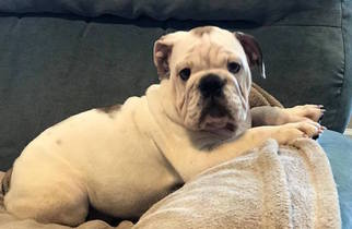 Bulldog Puppy For Sale in SUMMERVILLE, SC, USA