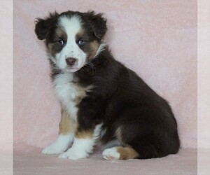 Australian Shepherd Puppy for sale in FREDERICKSBG, OH, USA