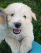 Aussiedoodle Puppy For Sale in CELINA, TX