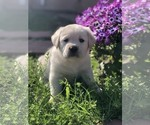 Labrador Retriever Puppy For Sale in MORENO VALLEY, CA, USA