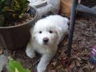 Australian Shepherd-Great Pyrenees Mix Puppy For Sale in YULEE, FL,