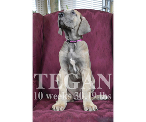 Great Dane Puppy for Sale in DANIELSON, Connecticut USA