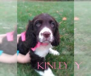 English Springer Spaniel Puppy for sale in BLMGTN, IN, USA