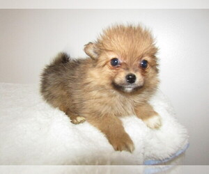 Pomeranian Puppy for sale in S BEND, IN, USA