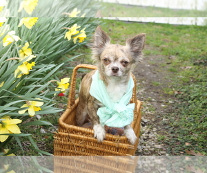 Mother of the Chihuahua puppies born on 05/18/2019
