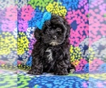Small #6 Havanese-Poodle (Toy) Mix