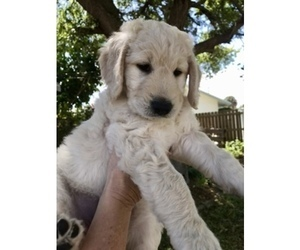 Goldendoodle Puppy for Sale in MERRITT IS, Florida USA