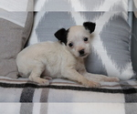 Small #2 Fox Terrier (Smooth)-Poodle (Miniature) Mix