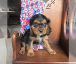 Female Cavalier puppy black and tan
