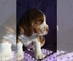 Small #11 Beagle